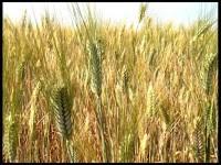 trigo e joio juntos